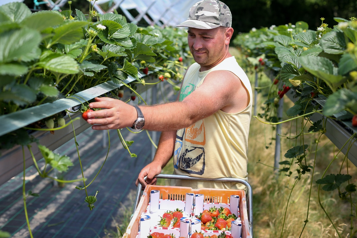 Fruit And Veg Grower Profile June 2017 Hugh Lowe Fruit Picker