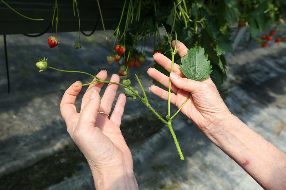 Fruit And Veg Grower Profile June 2017 Hugh Lowe Plant Branching