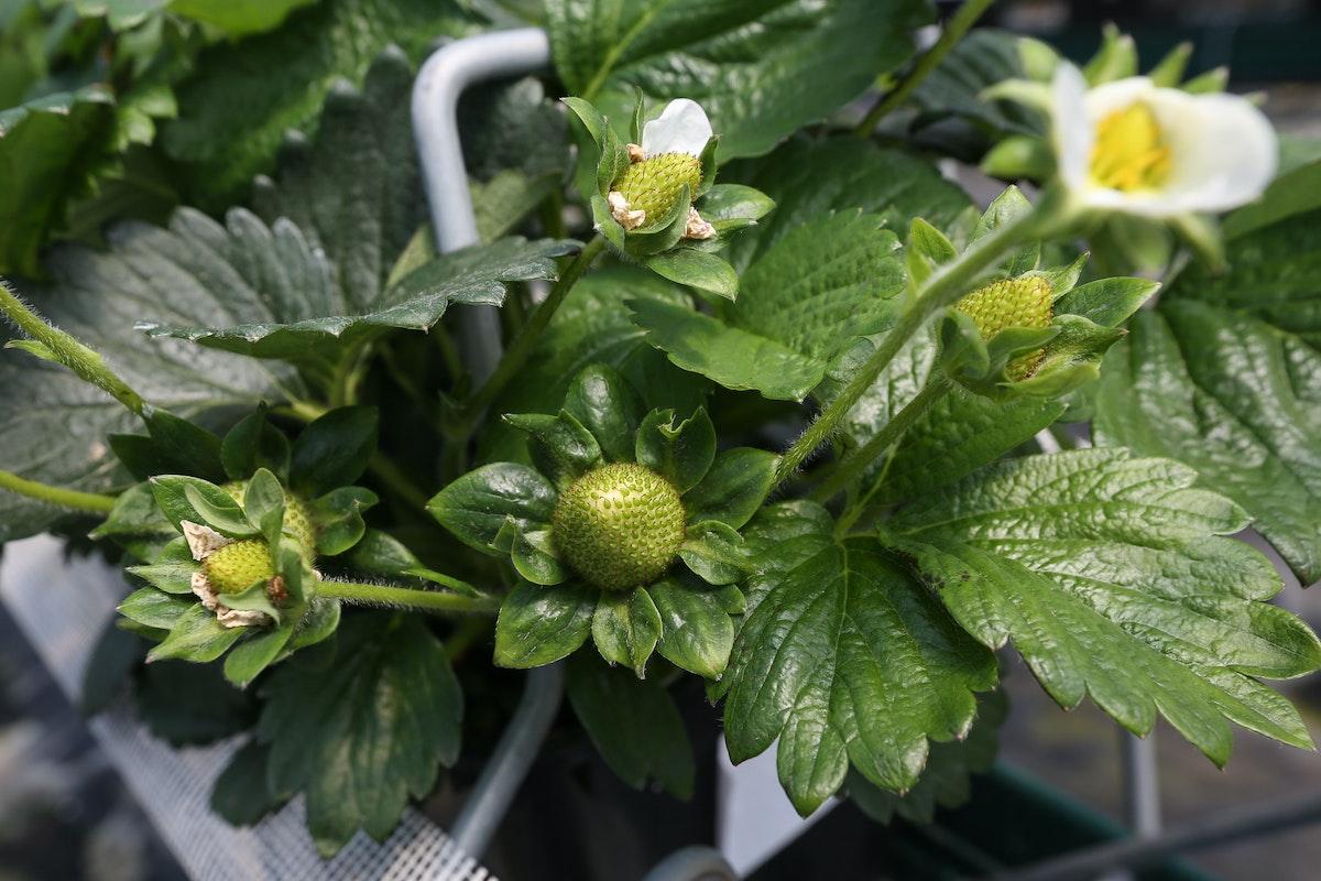 Fruit And Veg Grower Profile June 2017 Hugh Lowe Strawberry Plant