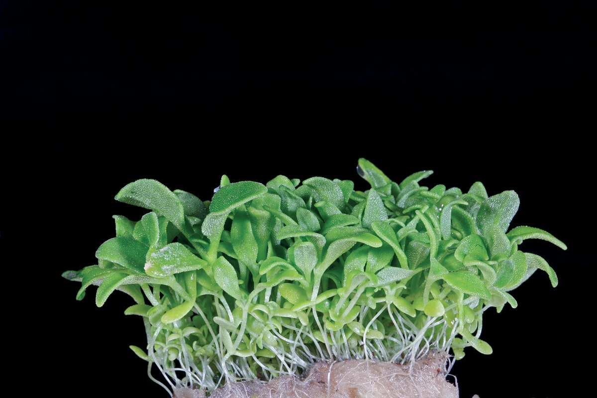 Fruit And Veg Grower Profile Koppert Cress Blinq Cress