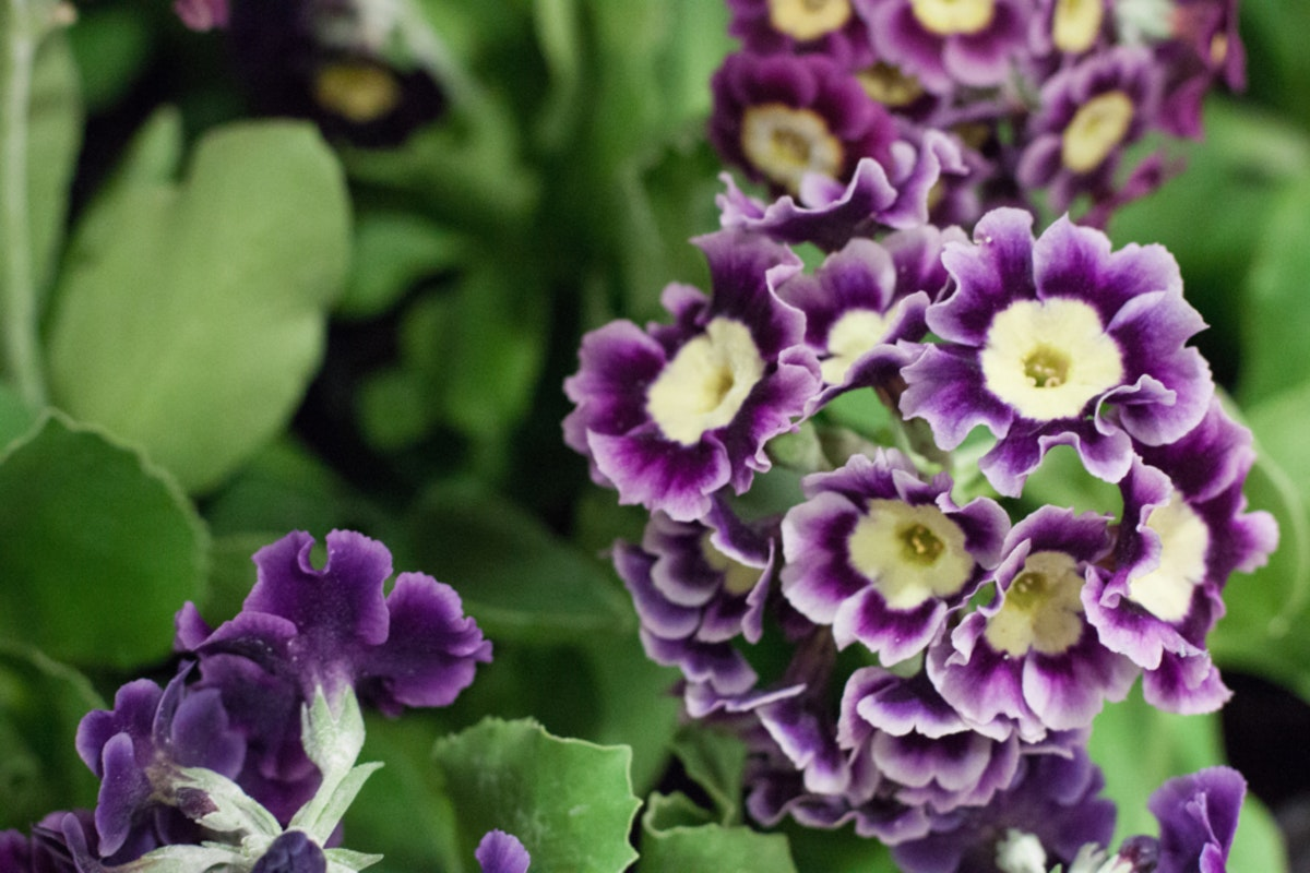 The Hottest Flowers Foliage Plants Sundries Trends For 2018 Rona Wheeldon Flowerona New Covent Garden Flower Market Auriculas At L Mills