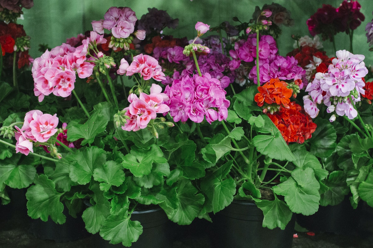 The Hottest Flowers Foliage Plants Sundries Trends For 2019 Rona Wheeldon Flowerona New Covent Garden Flower Market Geraniums