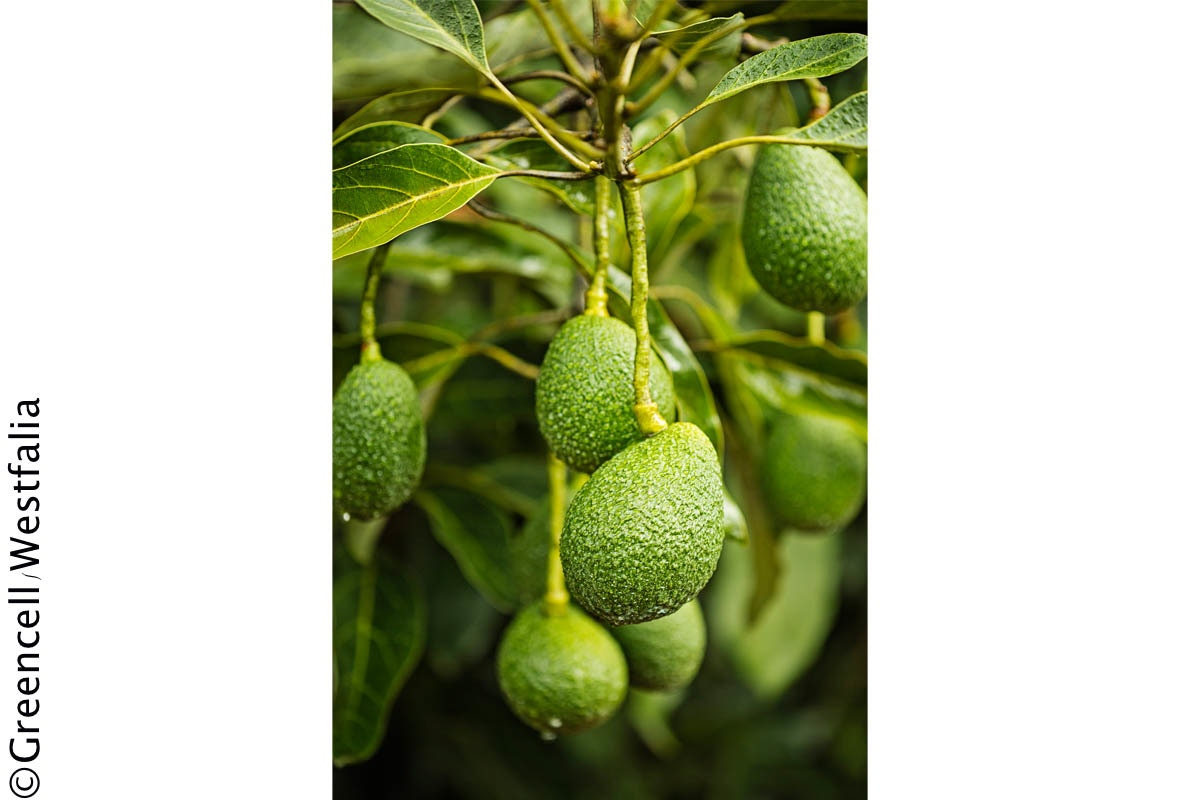 Fruit And Veg Market Chefs Guide To Avocadoes On Tree