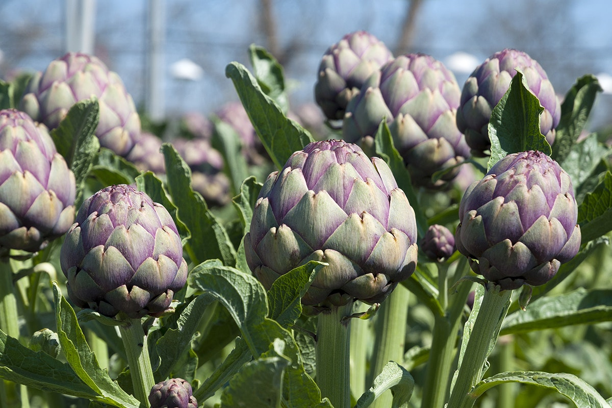 Fruit And Vegetable Market Chefs Guide To Artichokes March 2018 Artichokes Field Close Up