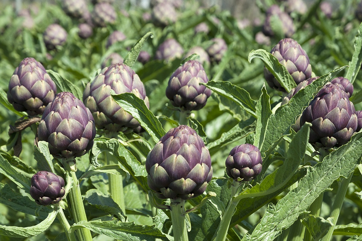 Fruit And Vegetable Market Chefs Guide To Artichokes March 2018 Artichokes Field