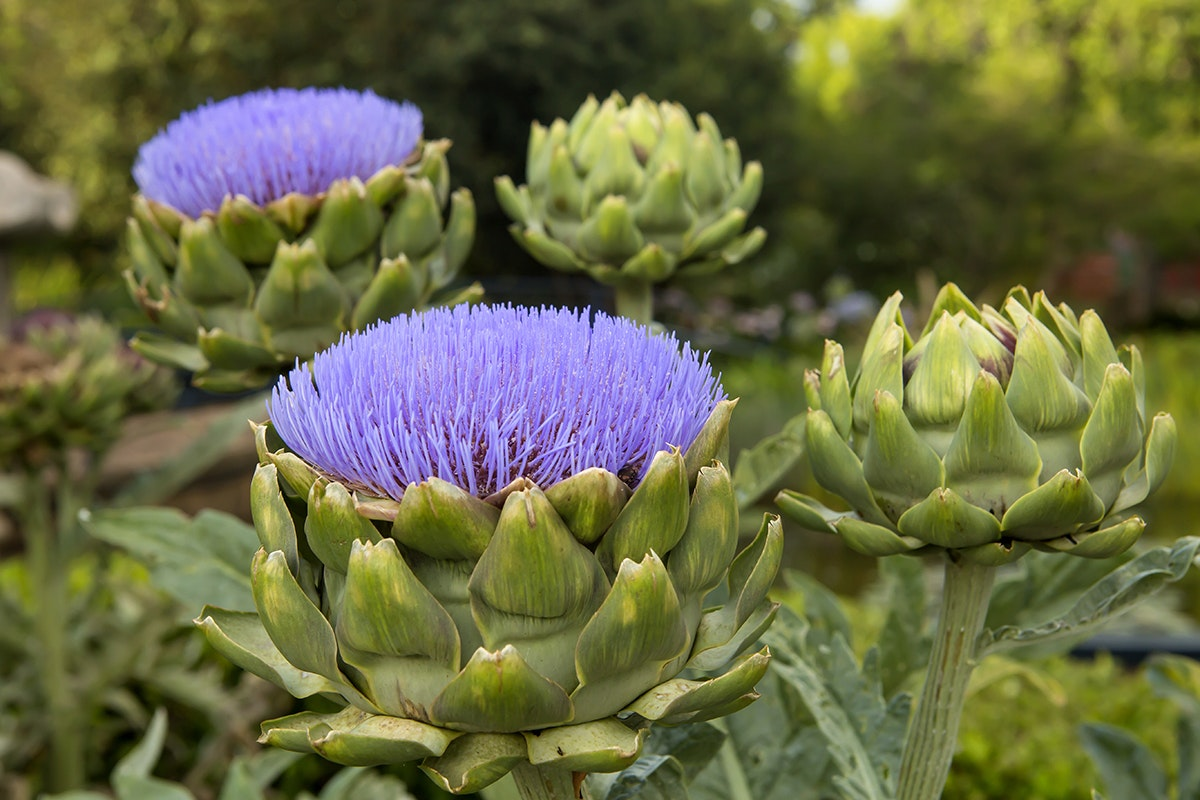 Fruit And Vegetable Market Chefs Guide To Artichokes March 2018 Artichokes In Flower
