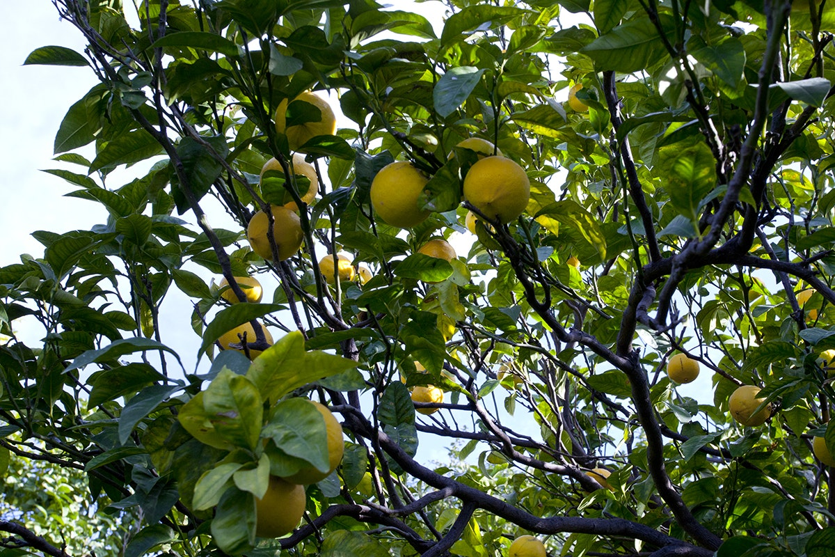 Fruit And Vegetable Market Chefs Guide To Bergamot Cilione On Tree