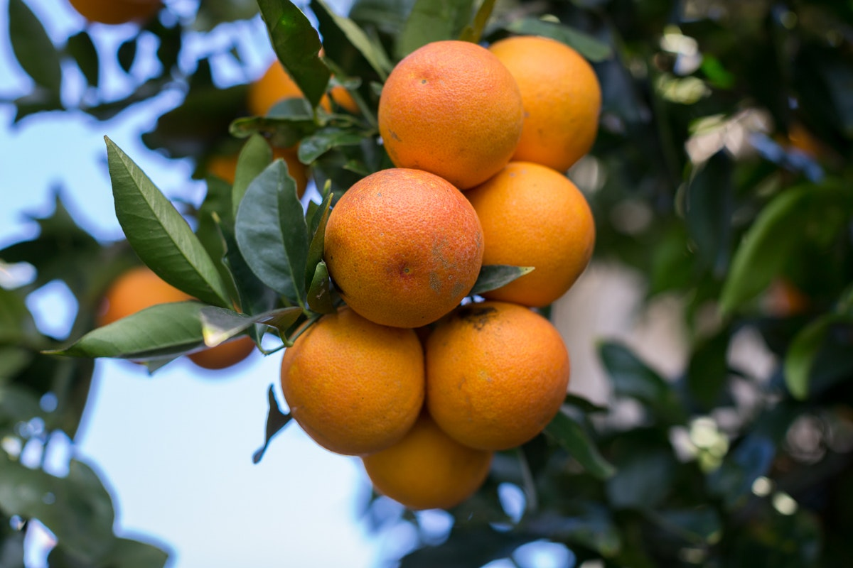Fruit And Vegetable Market Chefs Guide To Blood Oranges Jan 2019 Oranges On Tree