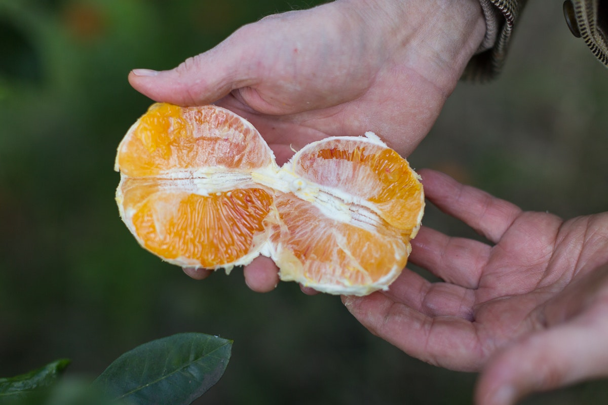 Fruit And Vegetable Market Chefs Guide To Blood Oranges Jan 2019 Tarocco