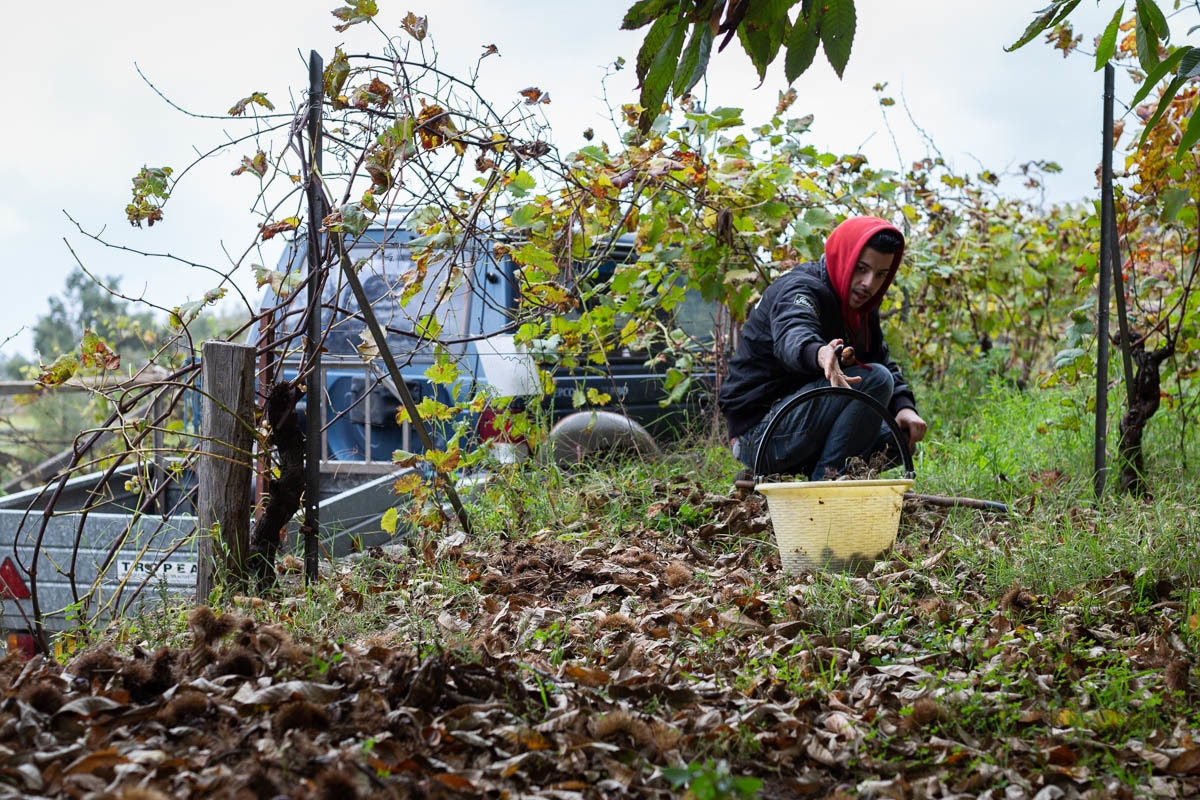 Fruit And Vegetable Market Chefs Guide To Chestnuts Harvesting