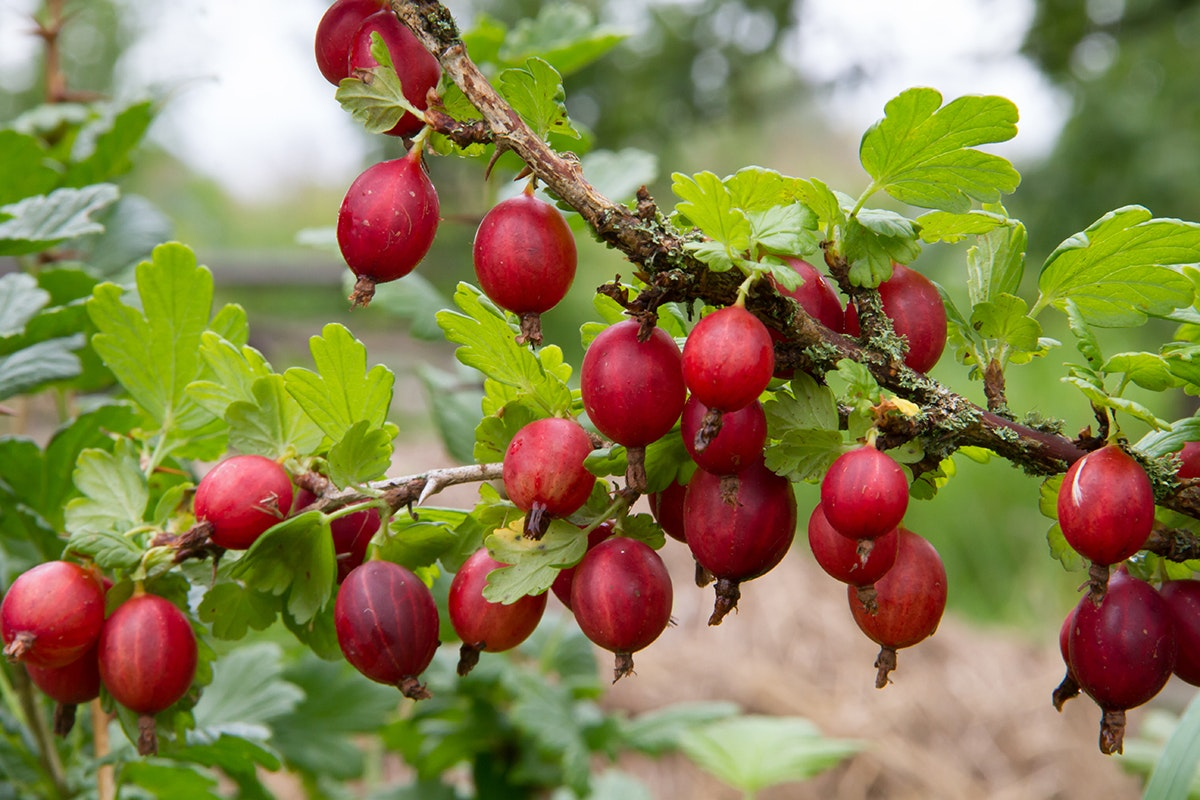 Fruit And Vegetable Market Chefs Guide To Gooseberries Red Bush In Field