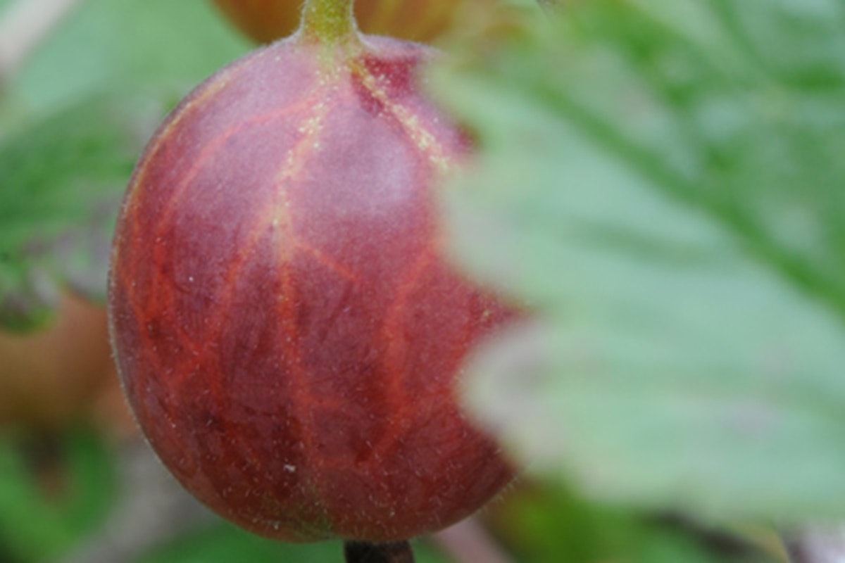 Fruit And Vegetable Market Chefs Guide To Gooseberries Red In Field