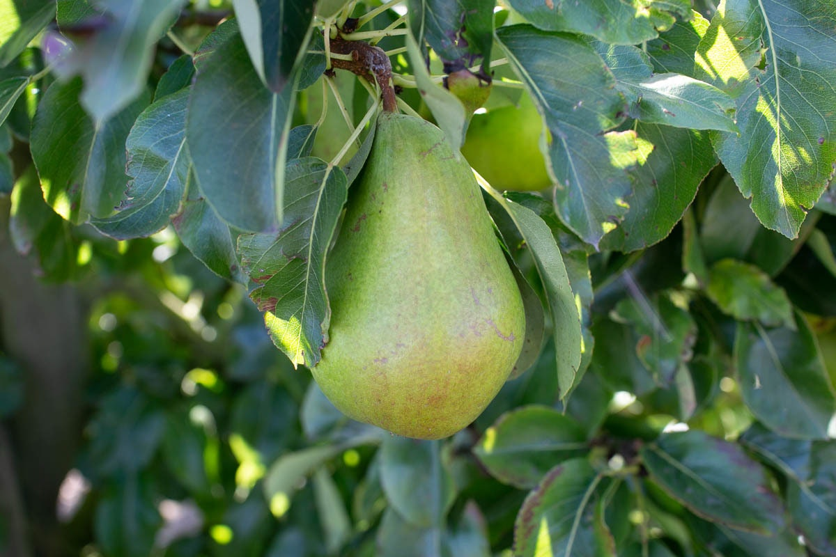 Fruit And Vegetable Market Chefs Guide To Pears On Tree