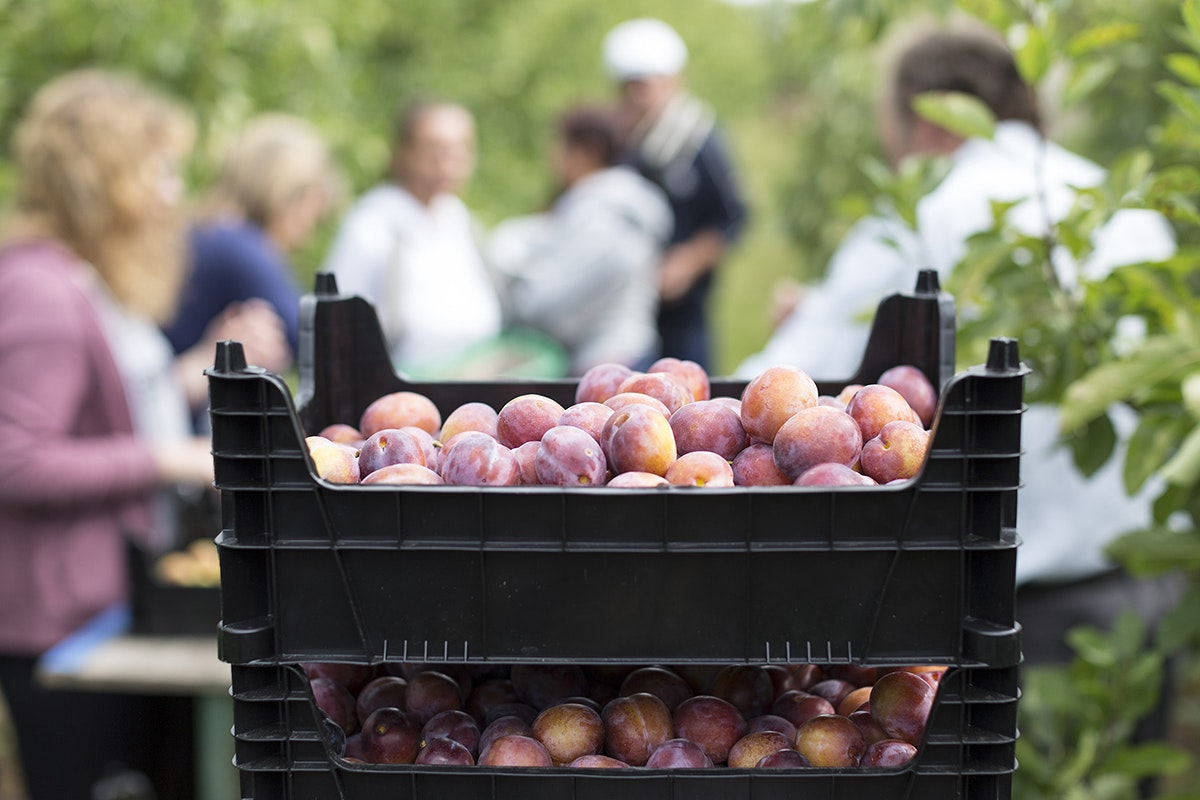 Fruit And Vegetable Market Chefs Guide To Plums Harvest