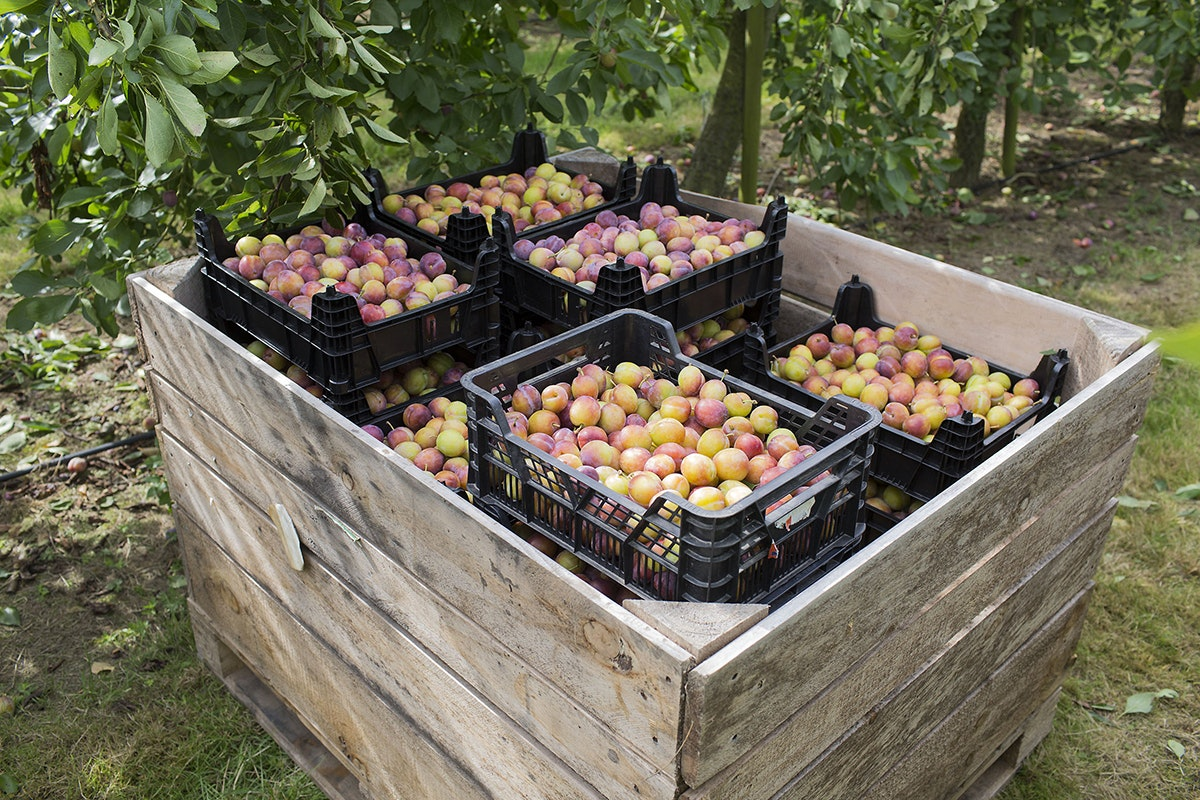 Fruit And Vegetable Market Chefs Guide To Plums Pallet