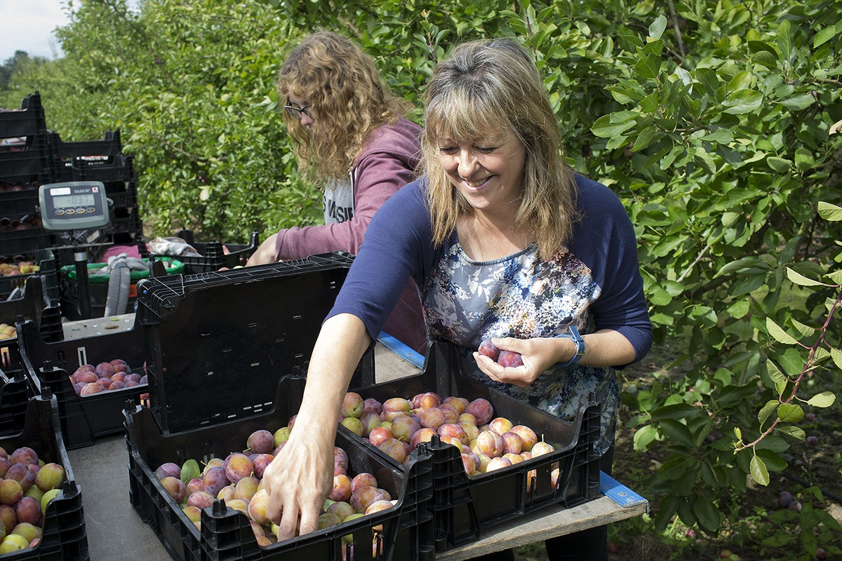Fruit And Vegetable Market Chefs Guide To Plums Picking Crop