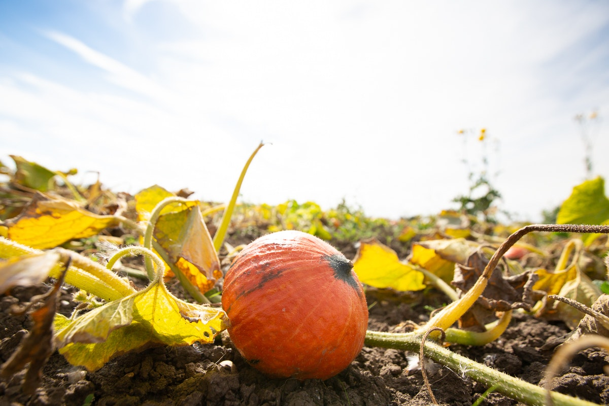 Fruit And Vegetable Market Chefs Guide To Squashes Onion Squash Field