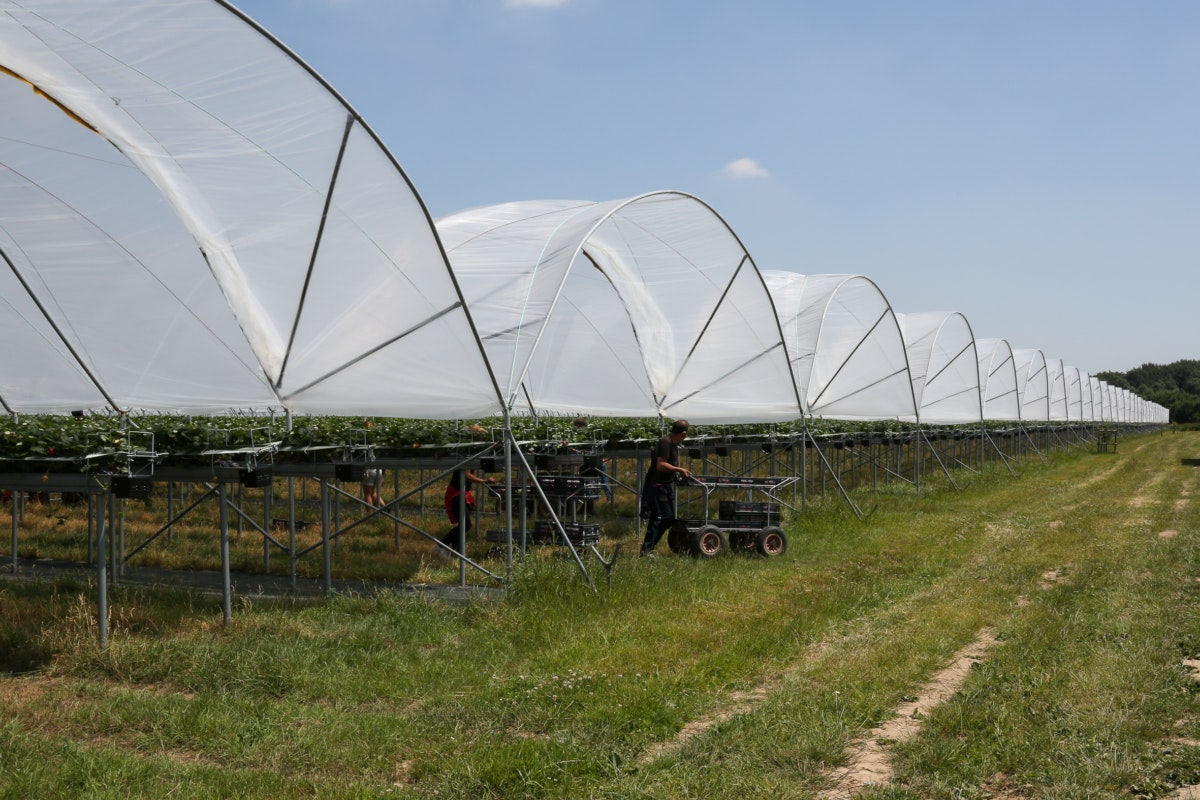 Fruit And Vegetable Market Chefs Guide To Strawberries May 2018 Polytunnels