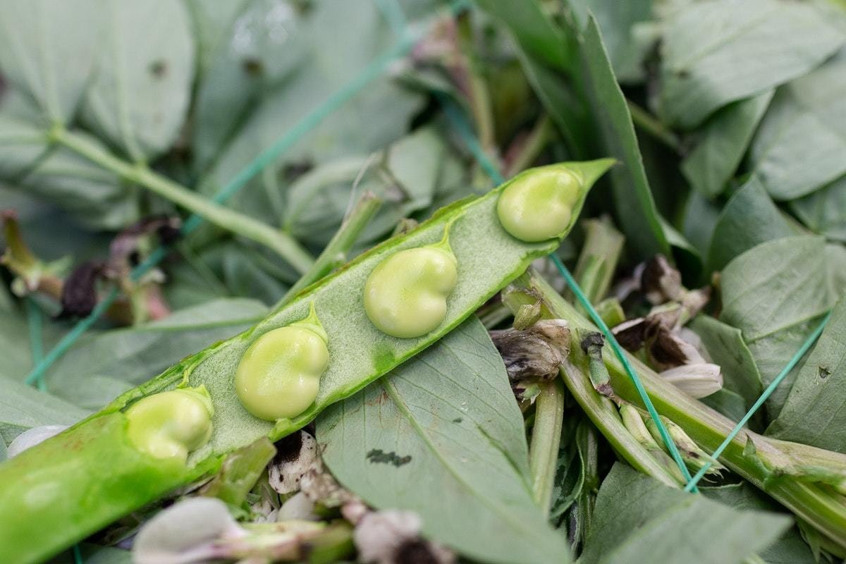 Fruit And Vegetable Market Chefs Guide To Summer Beans Broad Beans