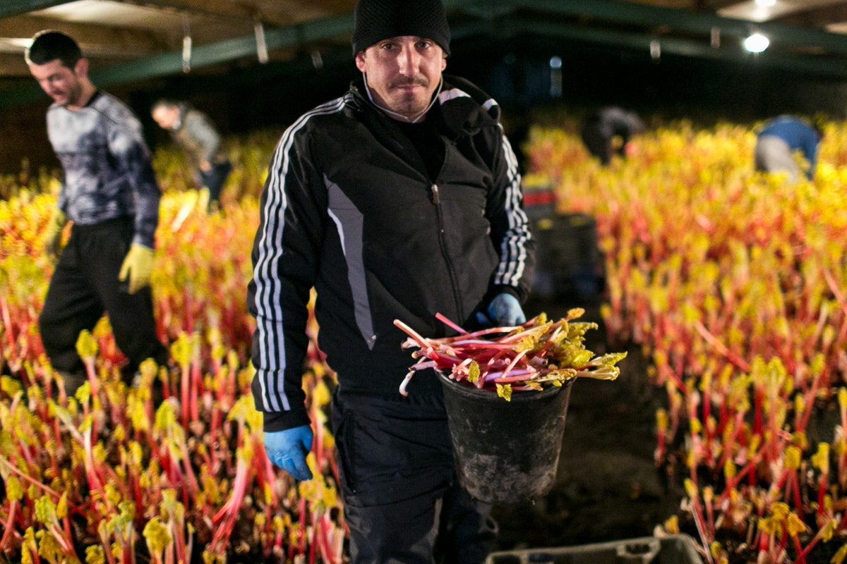 Fruit And Vegetable Market Chefs Guide To Yorkshire Forced Rhubarb January Forcing Sheds