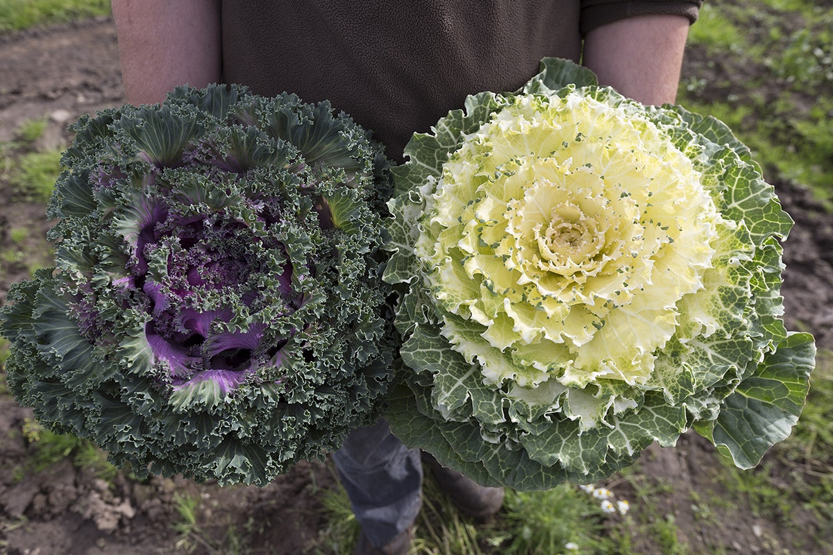 Ncgm British Food Fortnight Variegated Kales