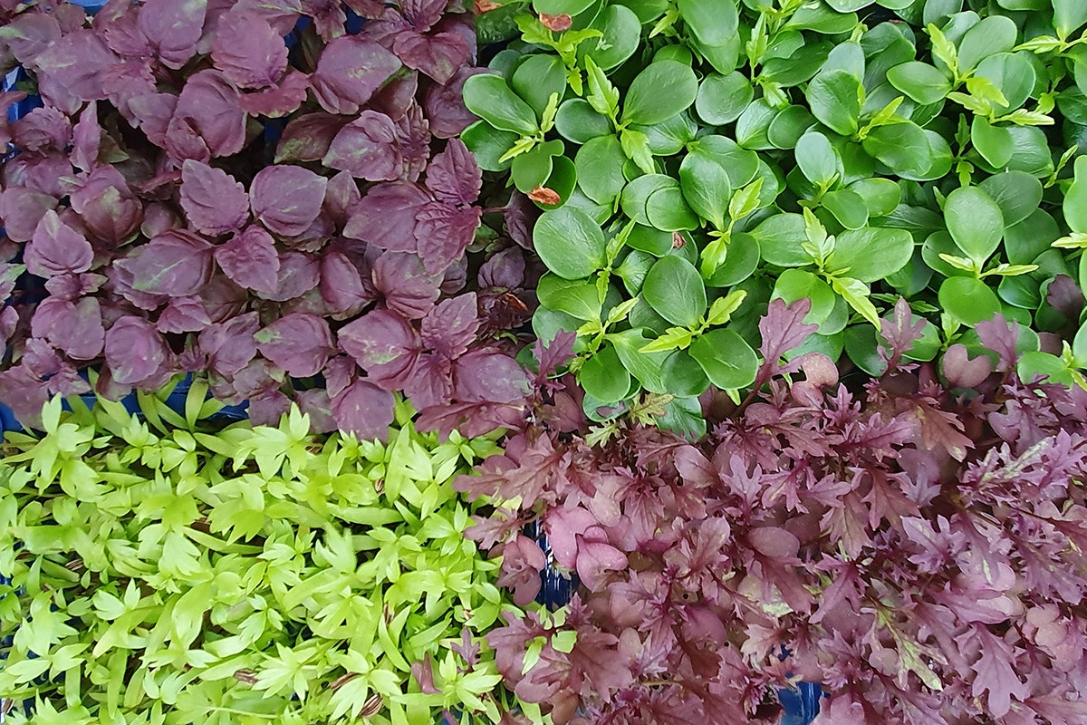 New Covent Garden Market New Start 2021 Micro Greens