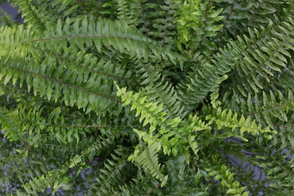 Product Profile: Ferns