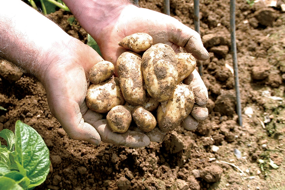A chef's guide to Jersey Royals